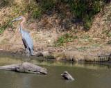 Goliath Heron and Crocodile