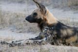 African Wild Dog of Londolozi