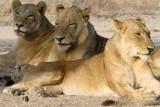 Lions of Londolozi