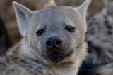 Hyena  Den At Londolozi