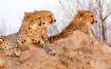 Cheetah of Londolozi