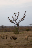 Hyenas and Vultures