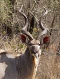 Kudu Male