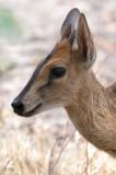 Steenbok Close Up