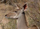Kudu Female Close Up