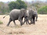 Young Elephants Running