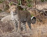 Female Leopard