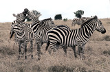 Zebra Horse play