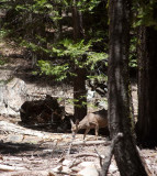 deer at Mariposa Grove