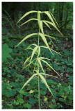 Polygonatum verticillatum