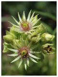 Sempervivum grandiflorum