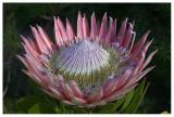 Blomme van Suid-Afrika