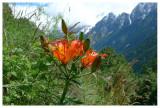 Lilium bulbiferum subsp. croceum
