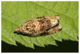 Noctuidae spec.