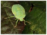 Shield bug (larva)