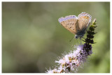 Lycaenidae sp.