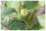 Anacridium aegypticum (larva)