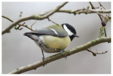 new specie : Tailless Tit or Shorttailed Tit ?   ;-)