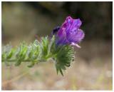 Echium arenarium