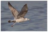 Herring Gull (juv.)