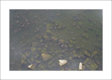 Fresh water turtles