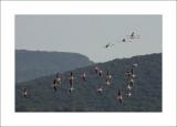 Flamingoes in Kaloni