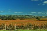 Willunga vines