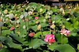 Nelumbo Pond