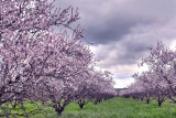 almond blossom time