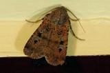 Noctuidae - Noctuinae