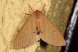 Arhodia lasiocamparia-1