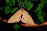 Arhodia lasiocamparia-2