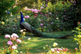Still life, peacock with roses