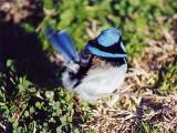 - Superb Blue Fairy Wren
