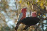 Galah cockatoos, late afternoon