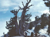 Ancient  Limber Pines  Near the Summit Of Baden Powell