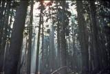 Grove Of Large Trees Along PCT Near Diamond Lake Area
