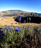 Early Summer Flowers  In Entiat Foothills