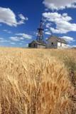 Wheat Farm Near Douglas Washington