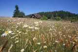 Daisies WIth  Morrell's Old Barn ,,,