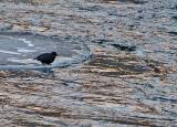 American Dipper Feeds along River