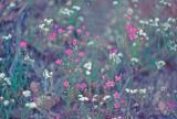 Wild Flowers along PCT ( World 's Best Trail!!!!)