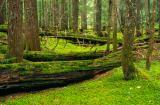 Forest Floor in Scottish Peak Proposed Wilderness ( Idaho)