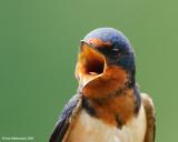 BarnSwallow08c2885.jpg