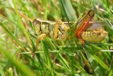 Grasshopper02.jpg