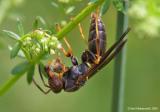 Wasp03c.jpg
