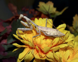 Mantis in fall colors