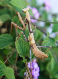_Mottled Mantis