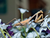 Mantis on artificial flowers