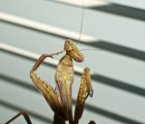 Mantis pedicure (or is that manicure?)